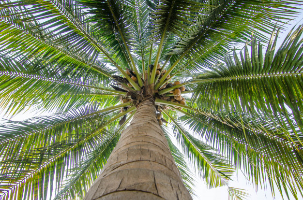 COCONUT TREE – SUPPORT CROPS